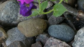 Petunia flowers grow on the stones. Camera in motion stock footage