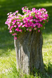 Petunia flowers grow on a stump Stock Photography
