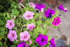 Petunia flowers growing in garden. Purple and pink petunia flowers growing in the summer garden Royalty Free Stock Photography