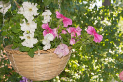 Petunia flowers in hanging baskets outdoor areas. Multicolored flowers petunias in hanging wicker baskets on metal chains outdoor areas Royalty Free Stock Photo