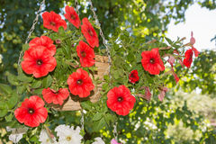 Petunia flowers in hanging baskets outdoor areas. Multicolored flowers petunias in hanging wicker baskets on metal chains outdoor areas Royalty Free Stock Photography