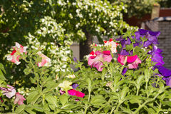 Petunia flowers in hanging baskets outdoor areas. Multicolored flowers petunias in hanging wicker baskets on metal chains outdoor areas Stock Photography