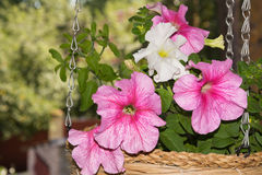 Petunia flowers in hanging baskets outdoor areas. Multicolored flowers petunias in hanging wicker baskets on metal chains outdoor areas Stock Photos