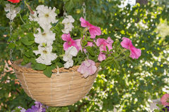 Petunia flowers in hanging baskets outdoor areas. Multicolored flowers petunias in hanging wicker baskets on metal chains outdoor areas Stock Images