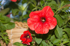 Petunia flowers in hanging baskets outdoor areas. Multicolored flowers petunias in hanging wicker baskets on metal chains outdoor areas Royalty Free Stock Photos