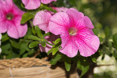 Petunia flowers in hanging baskets outdoor areas Royalty Free Stock Photography