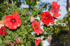 Petunia flowers in hanging baskets outdoor areas. Multicolored flowers petunias in hanging wicker baskets on metal chains outdoor areas Stock Image