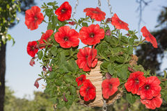 Petunia flowers in hanging baskets outdoor areas Stock Photography