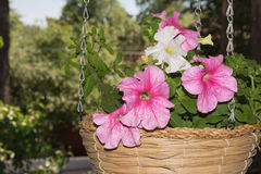 Petunia flowers in hanging baskets outdoor areas Royalty Free Stock Images