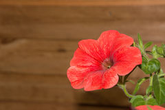 Petunia flowers in hanging baskets outdoor areas Stock Photos