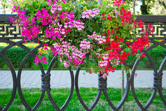 Petunia Flowers In Hanging Flower Pot Stock Photos