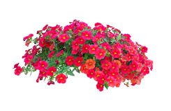 Petunia flowers isolated with clipping path included. Petunia flowers isolated on white background with clipping path included royalty free stock photography