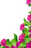 Petunia flowers isolated on white background Royalty Free Stock Photo