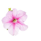Petunia flowers isolated on white Royalty Free Stock Image