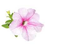 Petunia flowers isolated on white Stock Photos