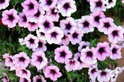 Petunia flowers Stock Photography