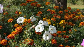 Petunia flowers and marigold in a flowerbed. stock video footage