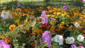 Petunia flowers and marigold in a flowerbed. stock footage