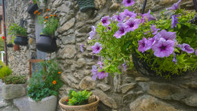 Petunia flowers at medieval wall Stock Photography