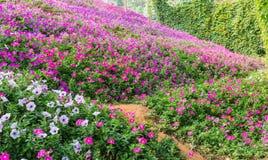 Petunia Flowers Royalty Free Stock Image