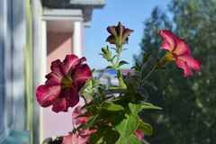 Petunia flowers with multicolored petals. Potted plant in balcony greening. On the background of house and trees royalty free stock photo