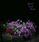 Petunia flowers in night park Royalty Free Stock Photo