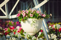 Petunia flowers in an ornamental garden pot stock photography