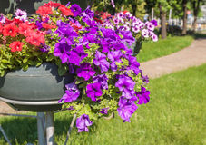 Petunia flowers in park Royalty Free Stock Photos