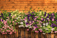 Petunia flowers and pelargonium blossom is blooming. Purple, pink, white, yellow bloom. Petunia flowers and pelargonium blossom is blooming. Purple, pink, white stock images