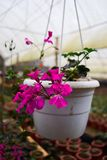 Petunia flowers with pink petals and velvety leaves grows in the hanging pot Royalty Free Stock Photography