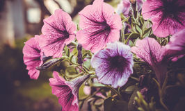 Petunia Royalty Free Stock Images