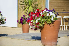 Petunia flowers in pots on the beach Stock Photos