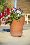 Petunia flowers in pots on the beach. Petunia flowers  in clay pots on the beach Royalty Free Stock Photos