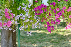 Petunia flowers in pots hanging Royalty Free Stock Photos