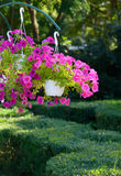 Petunia flowers in pots hanging Royalty Free Stock Photo