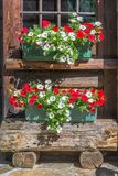 Petunia flowers pots on the window of a wooden rustic log cabin in the Alps, Aosta Valley Italy Stock Image