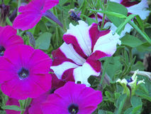Petunia flowers. Purple striped petunia flowers on the summer flowerbed Royalty Free Stock Photography