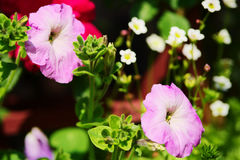 Petunia flowers in springtime. Violet petunia blooming on flowerbed in the spring garden. Stock Images
