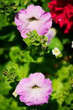Petunia flowers in springtime. Violet petunia blooming on flowerbed in the spring garden. Stock Photo