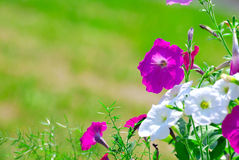 Petunia flowers in sunlight Royalty Free Stock Image