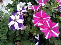 Petunia flowers royalty free stock photo