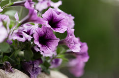 Petunia flowers in a vase Royalty Free Stock Image