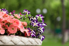 Petunia flowers in a vase. Pink and purple colors stock photos