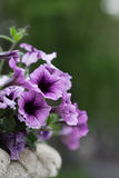 Petunia flowers in a vase Royalty Free Stock Images