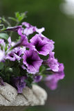 Petunia flowers in a vase Royalty Free Stock Photography