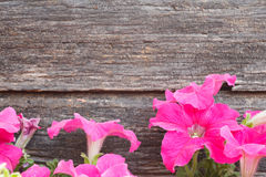 Petunia flowers on wood background Royalty Free Stock Images