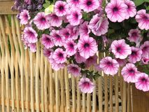 Petunia flowers and wooden fence royalty free stock images