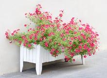 Petunia Flowers. Petunia Flowers In Wooden Pot Royalty Free Stock Photos