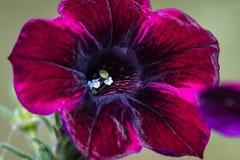 Petunia garden Stock Photo