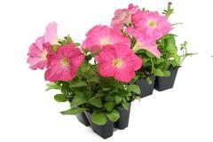Petunia Garden Packs Royalty Free Stock Photos